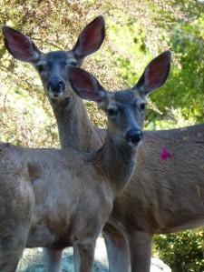 twin deers